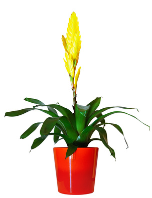Vriesea – a magnificent indoor plant