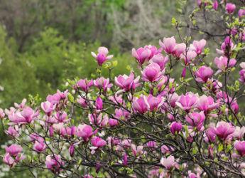 A quel age fleurit un magnolia for Www jardiner malin fr