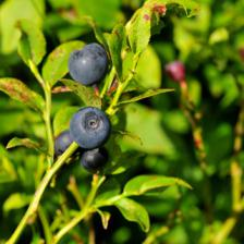 Bilberry, from planting to harvest