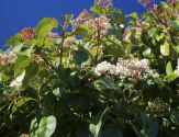 photinia arbuste
