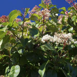 photinia planting pruning and advice on caring for them. Black Bedroom Furniture Sets. Home Design Ideas