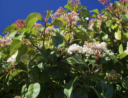 Photinia, magnificent leaves