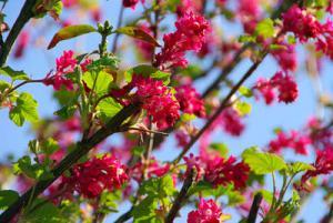 groseillier a fleurs