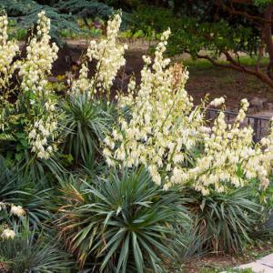 Yucca gloriasa d 39 ext rieur tous les conseils d 39 entretien - Comment rempoter une plante d exterieur ...