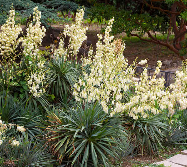 Outdoor yucca , care and watering