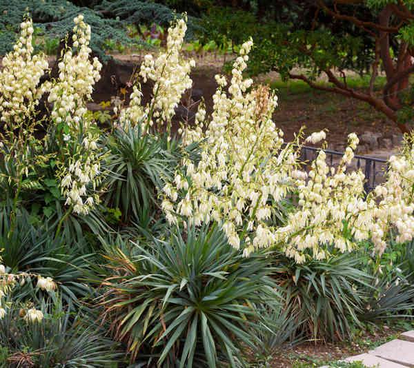 yucca gloriasa d 39 ext rieur tous les conseils d 39 entretien. Black Bedroom Furniture Sets. Home Design Ideas