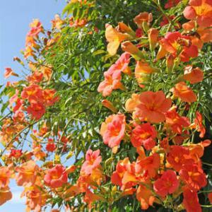 bignone plantation entretien et taille des bignones