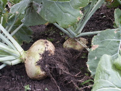 Swede, the other name of rutabaga