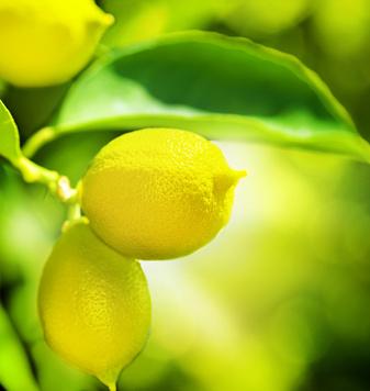 Citronnier entretien taille et r colte des citrons for Entretien d un bougainvillier