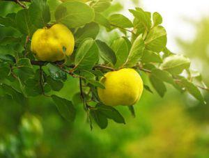 Cognassier coing plantation entretien taille - Traitement arbres fruitiers ...