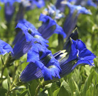 gentiane fleur