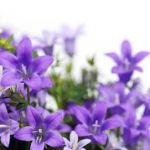 campanule fleur