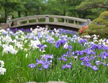 Une fleur...nommée Iris.... Iris
