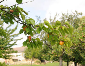 Plantation d 39 un fruitier conseils pour bien planter - Quel arbre fruitier planter ...