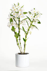 originaire dun triangle form par lhimalaya le sud du japon et la nouvelle zlande le dendrobium est une orchide piphyte on aime ses lgantes fleurs