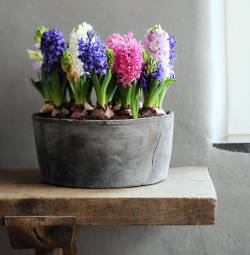 jacinthe en hiver