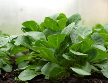 M che culture semis et r colte de la mache - Variete de salade d hiver ...