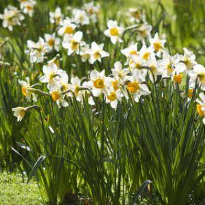 Fleur de jonquille for Www jardiner malin fr
