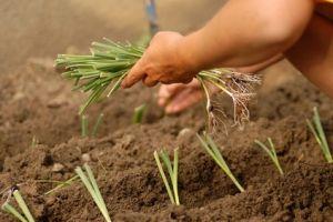 Poireau semis culture et r colte des poireaux - Comment planter des poireaux ...