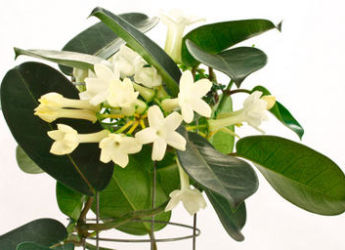 stephanotis conseils de culture et entretien. Black Bedroom Furniture Sets. Home Design Ideas
