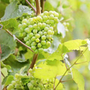 Vigne culture entretien et r colte du raisin - Planter vigne raisin de table ...