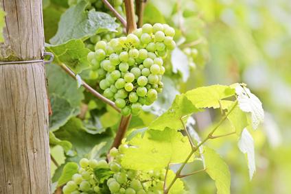Vigne culture entretien et r colte du raisin - Entretien de la vigne ...