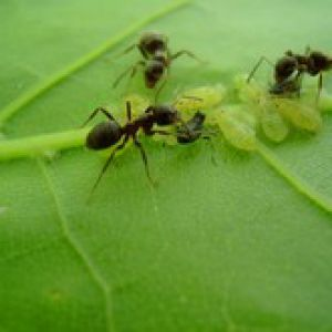 Anti fourmi naturel et bio for Anti fourmis dans la maison