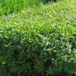 Troene : plantation, taille et conseils d\'entretien
