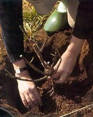 Le jardin à la sortie de l'hiver 1246353031plantationrosier
