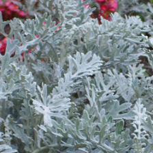 Silver ragwort, unique leaves