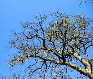 Greffage de pommier et de prunier arbres arbustes et - Taille du poirier william ...