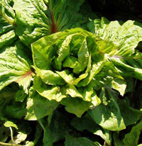 Endive, chicory, from seed to harvest