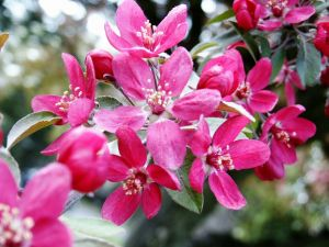 Pommier d 39 ornement pommier fleurs plantation taille et entretien - Pommier d amour entretien ...
