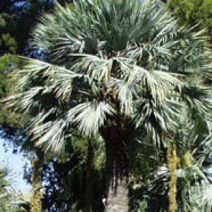 palmier bleu