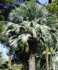 Palmier bleu du mexique entretien arrosage taille - Palmier resistant au froid ...
