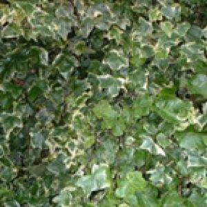 https://images.jardiner-malin.fr/2014/04/1246976333lierre-1-300x300.jpg