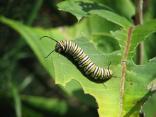 Caterpillars, techniques and organic treatments to avoid them