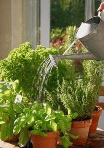 Plantes aromatiques tout savoir for Basilic culture interieur