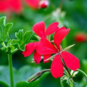 Geranium lierre entretien taille arrosage - Quand planter les geraniums ...