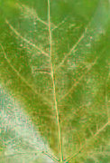 Sycamore lace bug, organic treatments to control it