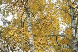 acacia boule quelle envergure arbres arbustes et rosiers forum du jardin et du jardinage. Black Bedroom Furniture Sets. Home Design Ideas
