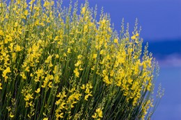 Comment arracher et replanter un genet arbres arbustes et rosiers forum du jardin et du - Arbuste floraison printaniere jaune ...