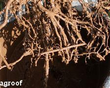 Root dip – how to prepare your own root dip
