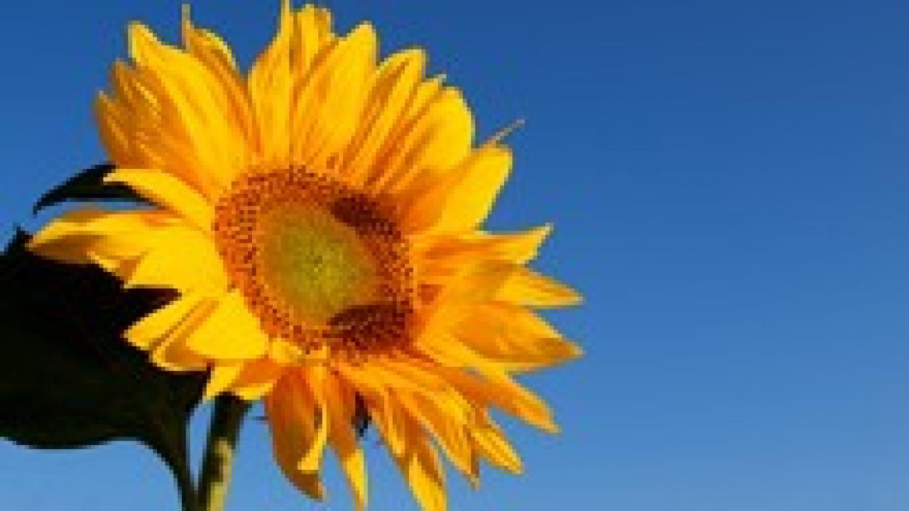 Quand Faut Il Semer Les Tournesols soleil, tournesol, helianthus, conseils d'entretien