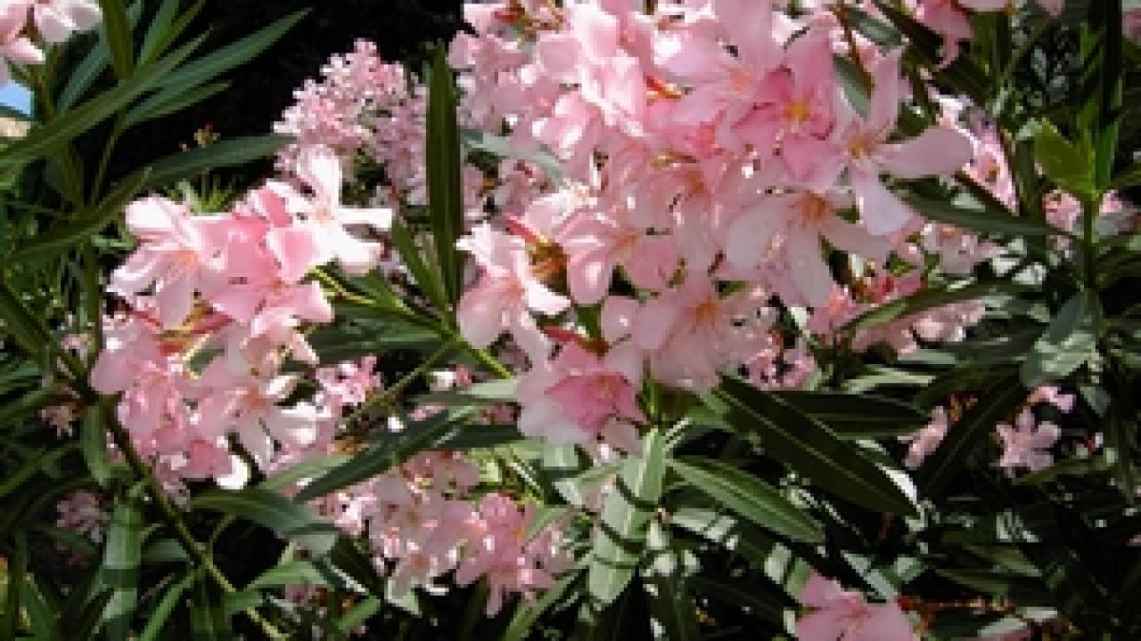 A Quelle Periode Tailler Les Lauriers bouturage laurier rose : technique et période