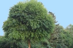 acacia boule