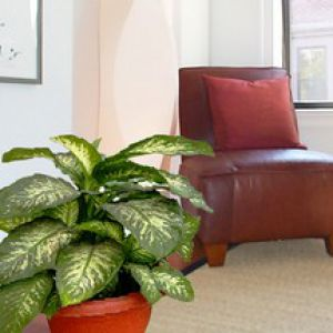 pretty dieffenbachia house plant. Dieffenbachia  foliage that is simply beautiful care repotting watering