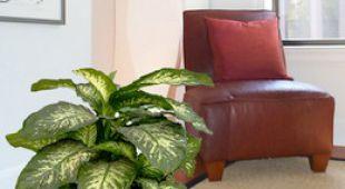 pachira entretien arrosage maladies. Black Bedroom Furniture Sets. Home Design Ideas