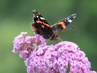 buddleja papillon