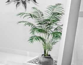 Areca, a cute indoor palm tree